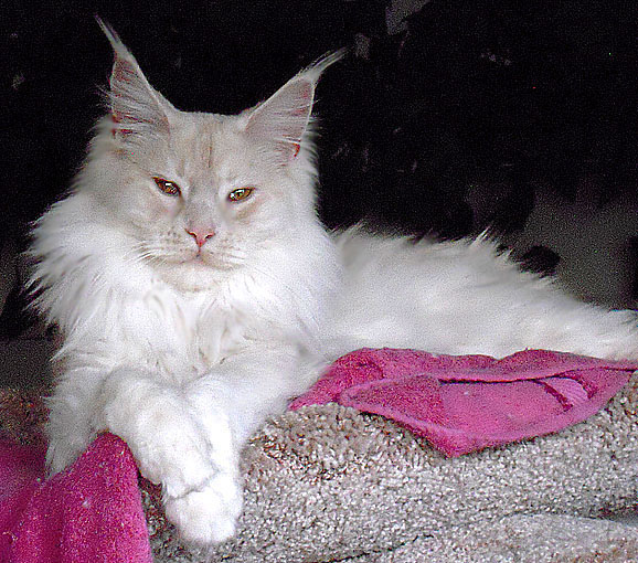 Maine coon creme silver tabby